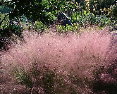 ziergraser winterhart details zu rosa haargras o 25 samen seeds muhlenbergia capillaris ziergras immergrun