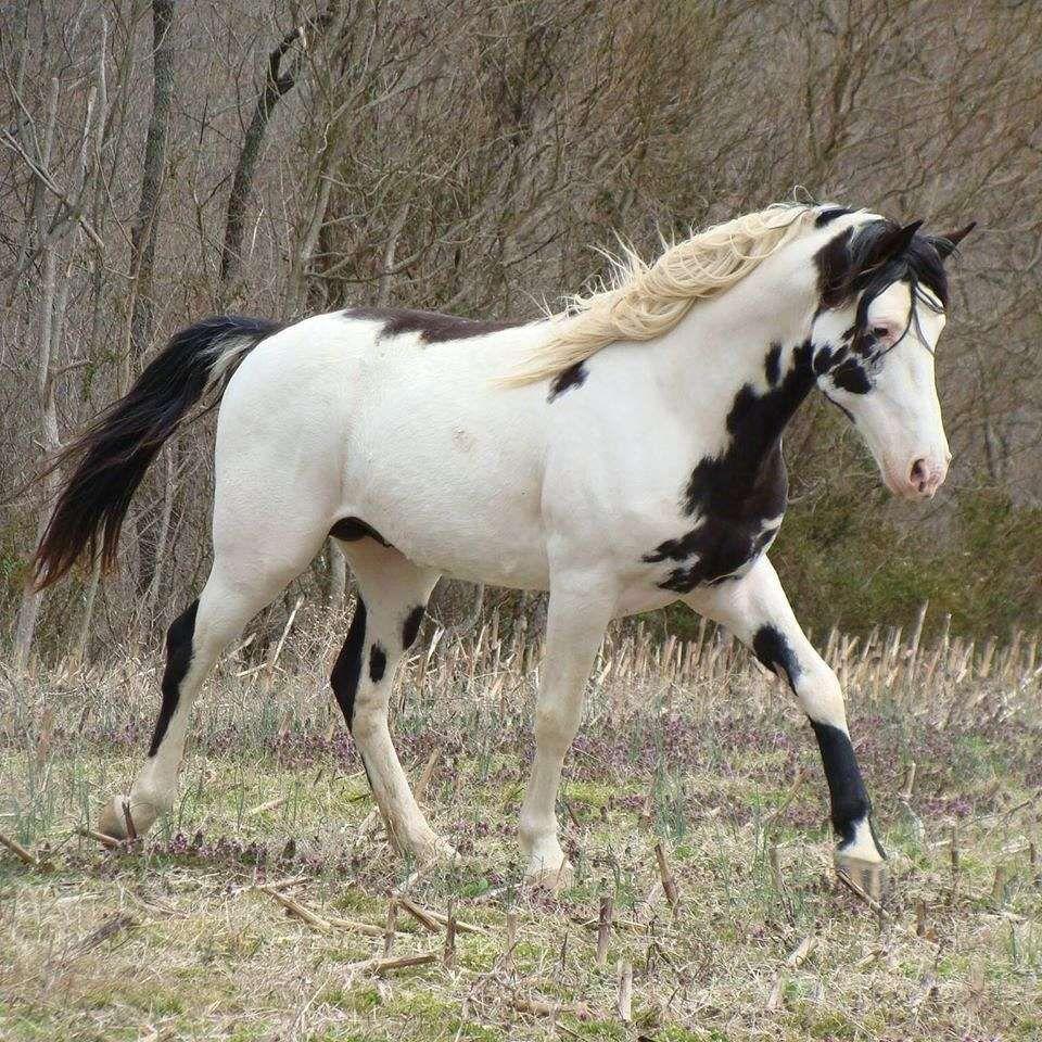He S Ebony And Ivory Walking Horse Tennessee Walking Horse Black Horses [ 960 x 960 Pixel ]