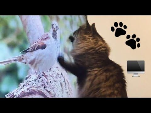 FUNNY CAT ATTACKS BIRDS ON TV -  #bird #birds  #birding #animale #bird_watchers_daily #animal #birdwatching #pets #nature_seekers #birdlovers Booboo loves to watch birds on TV, always tries to attack them  Comment what video next we should do with him  - #Birds