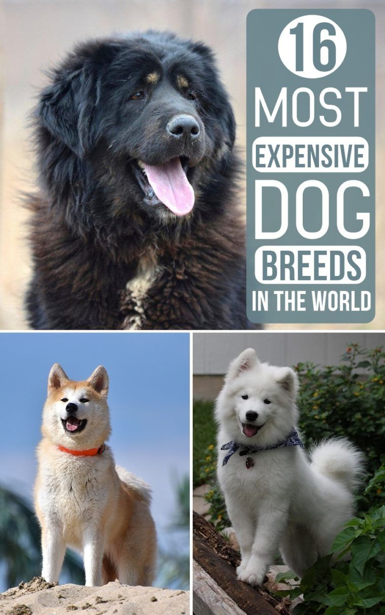 16 Most Expensive Dog Breeds In The World Expensive dogs