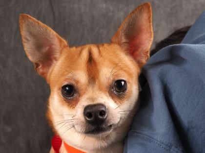 Adopt Webster A Lovely 1 Year 2 Months Dog Available For Adoption At Petango Com Webster Is A Chihuahua Short Co With Images Cute Animal Photos Pet Adoption Chihuahua