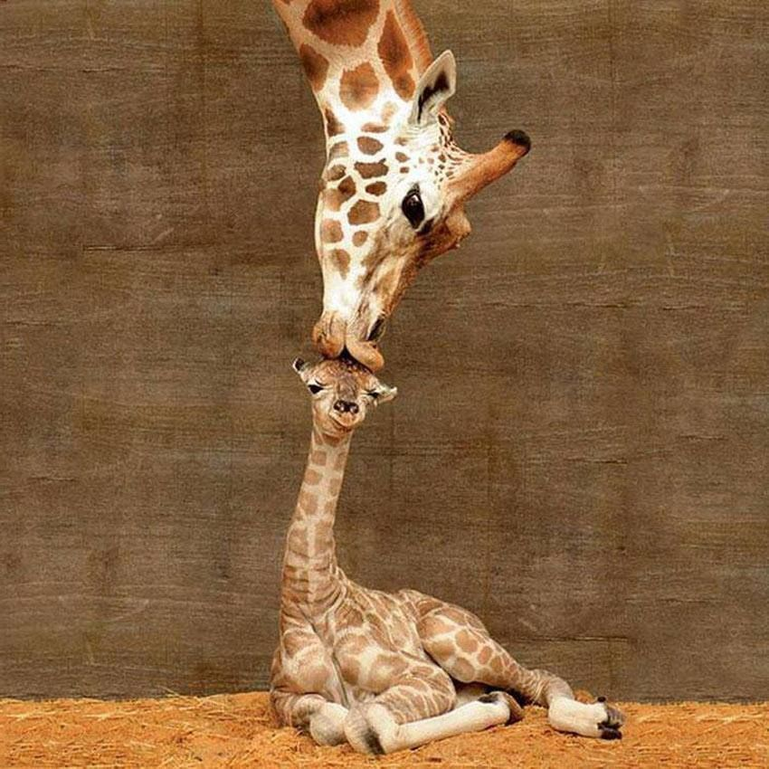 """Fascinating Pictures on Twitter: """"A giraffe was captured kissing her newborn baby calf... https://t.co/1b9CuKtOcN"""""""