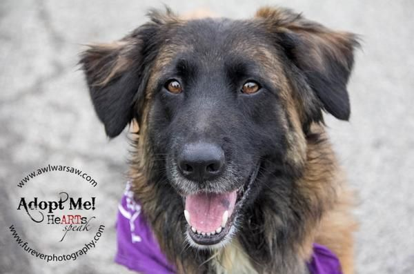 Adopt Lady On Animal Welfare League Australian Shepherd Mix