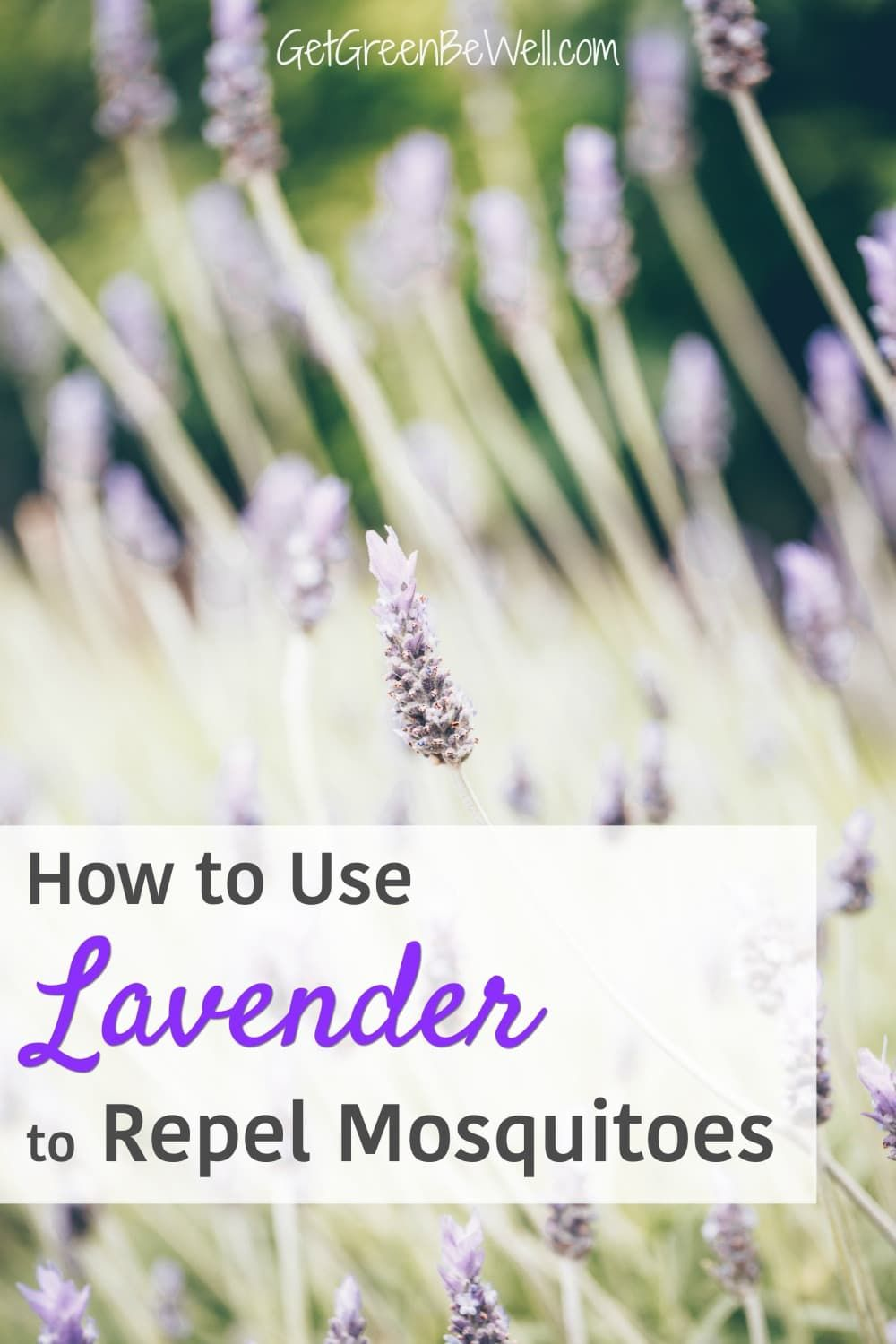 Does Lavender Repel Mosquitoes? Get Green Be Well in