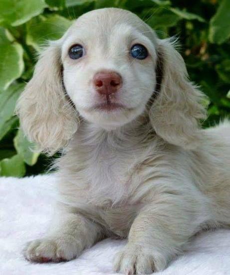 Blue Dapple Dachshund Puppy Dachshund Breed Clever Dog