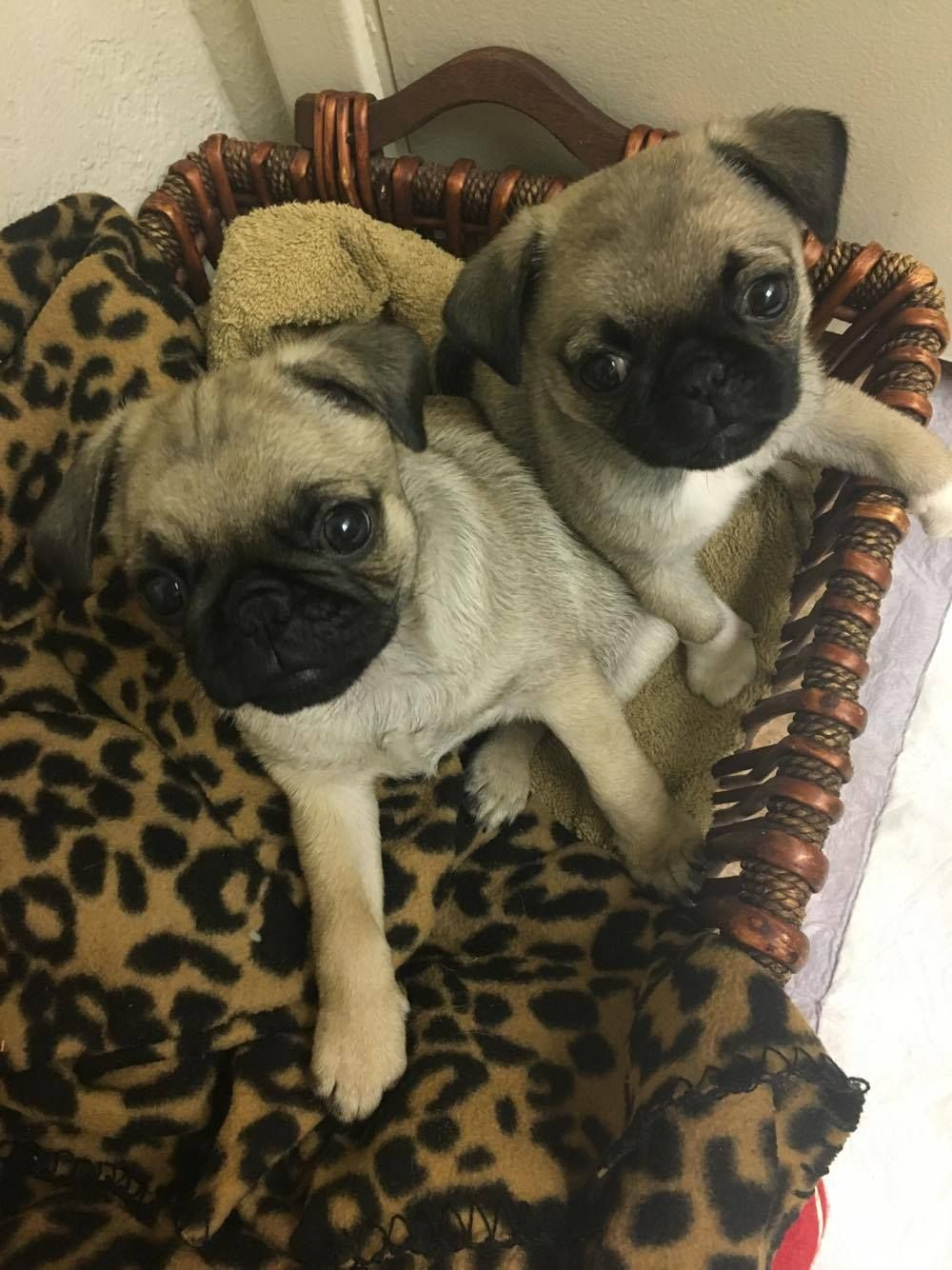 With Pugs You Will Never Be Alone Again Pugshome Pugs Pughug