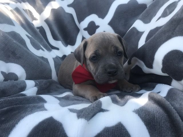 Cane Corso Puppy For Sale In Quarryville Pa Adn 32425 On