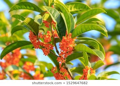 Red osmanthus blossoms on osmanthus tree in autumn  #aroma, #autumn, #background, #beautiful, #beauty, #bloom, #blossom, #blue, #botany, #bouquet, #branch, #close-up, #closeup, #color, #fall, #flora, #floral, #flower, #foliage, #food, #forest, #fragrant, #fresh, #garden, #gold, #green, #group, #leaf, #leaves, #macro, #natural, #nature, #october, #osmanthus, #outdoor, #park, #petal, #pink, #plant, #red, #rural, #scent, #season, #sky, #small, #spring, #sweet, #tea, #tree, #tropical