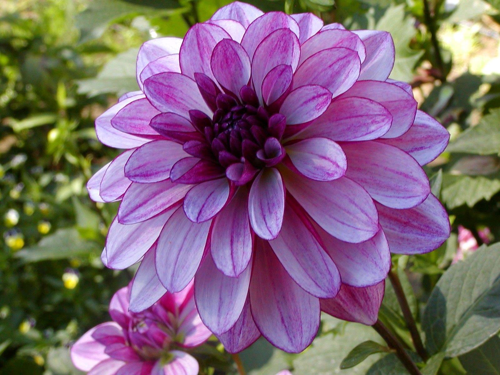Dahlias Are A Type Of Tuberous Perennial Most Beautiful Flowers Dahlia Flower Purple Dahlia