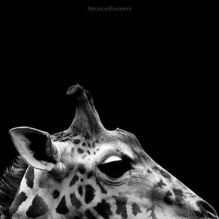 Nature Avec Images Photo Animaux Noir Et Blanc Girafes