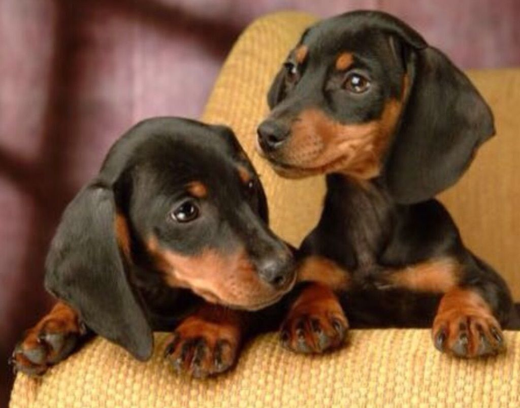 Pin By Amy Katz On Darling Doxies With Images Dachshund Puppy