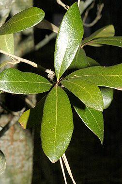 Live Oak Quercus Virginiana Leaf Plant Leaves Tree