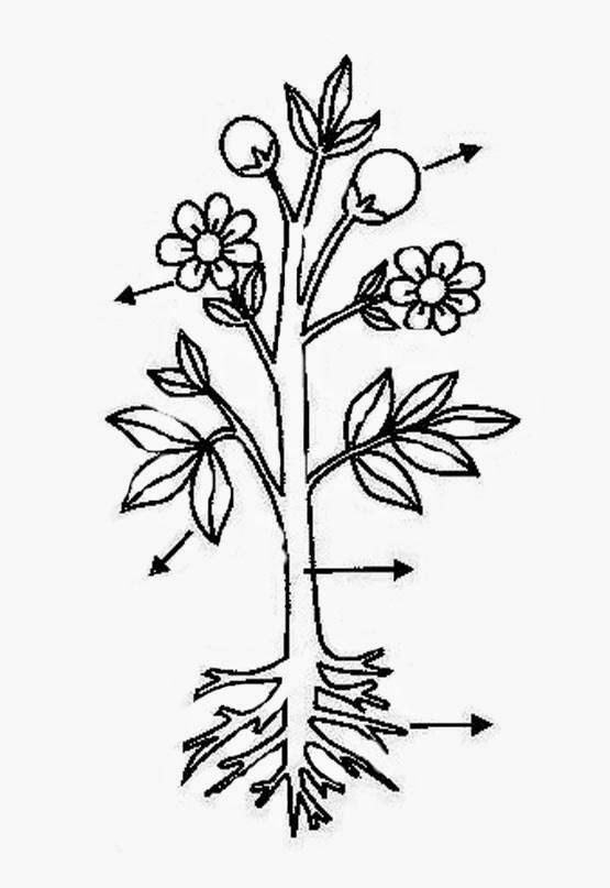 Dibujo De La Planta Y Sus Partes Para 19 Partes De Una Planta Para Partes De La Planta Partes De La Misa Plantillas Para Colorear