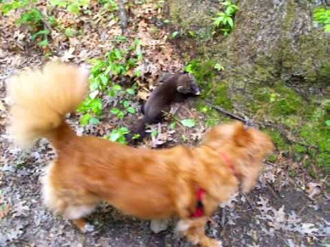 Baby Fisher Cat Found On Trail They Are So Cute The Scream Like