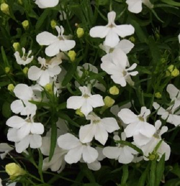 White lobelia regatta trailing flowers happy in sun or shade white lobelia regatta trailing flowers happy in sun or shade looks great in containers mightylinksfo