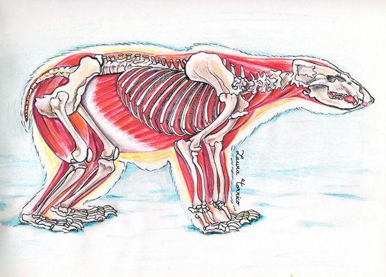 Anatomía del oso polar. Estudio anatómico para el proyecto Viaje al ...