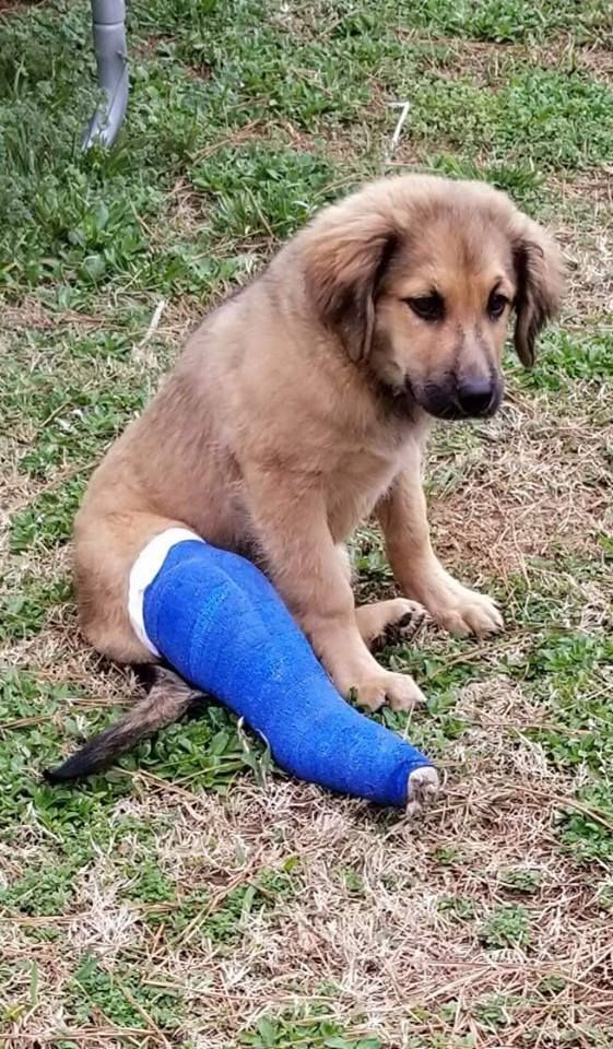 Golden Shepherd Dog For Adoption In Tuscaloosa Al Adn 811545 On