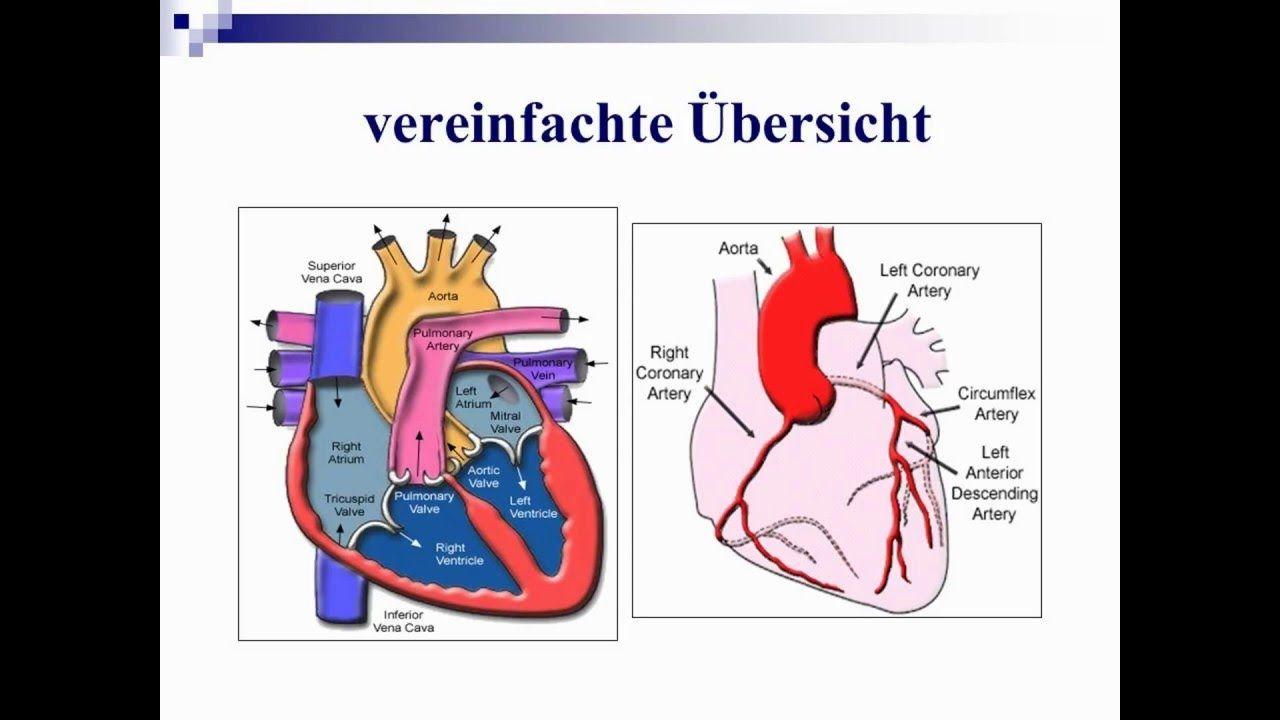 bau herz bau herz Das Herz liegt als etwa faustgroßes Organ hinter ...