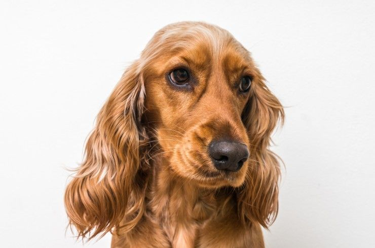Why Is The Cocker Spaniel The Uk S Most Popular Spaniel Breed Spaniel Breeds Spaniel Puppies Cocker Spaniel