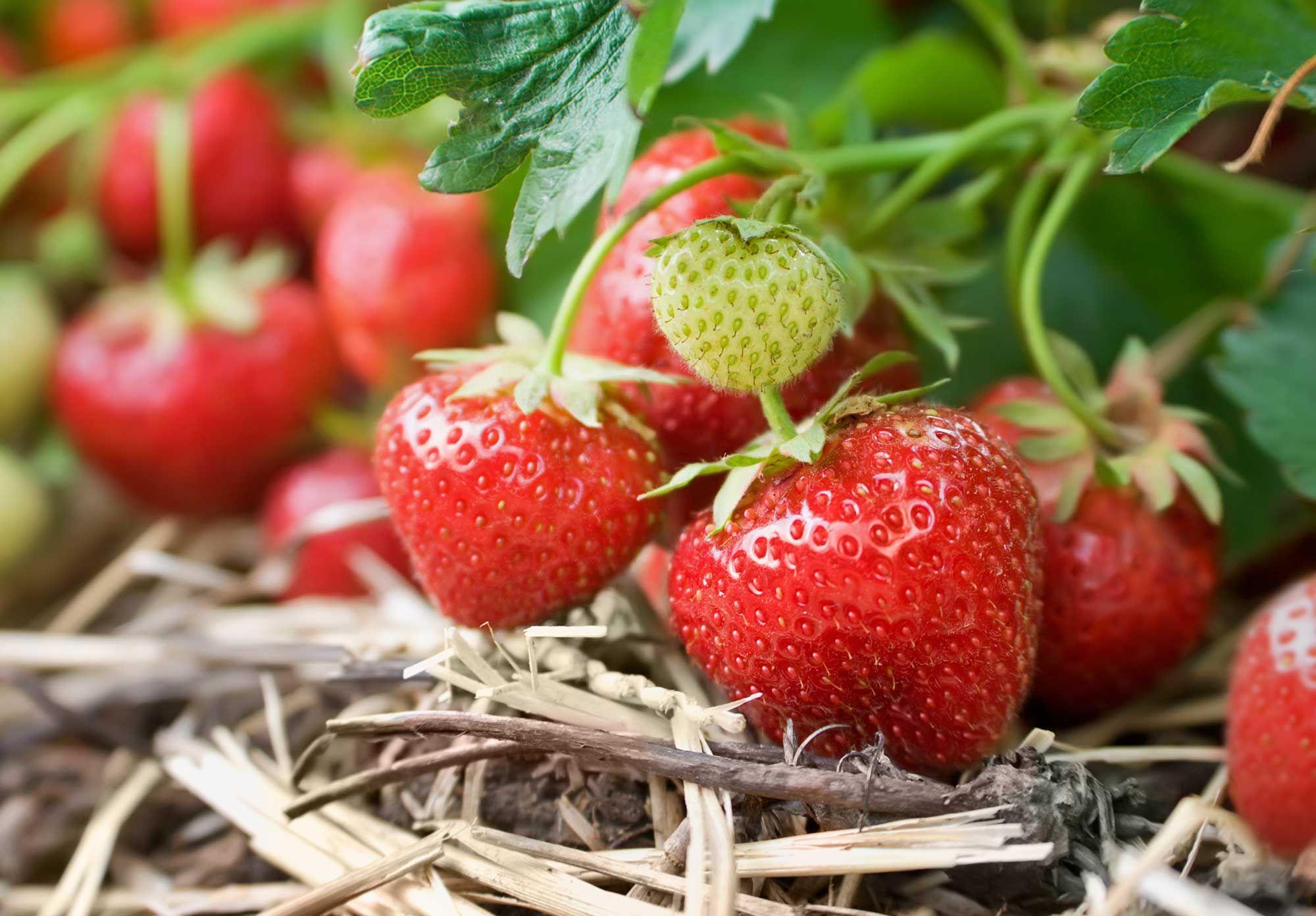 Få en jämn skörd av stora härliga och solmogna jordgubbar om du förnyar plantorna och placerar dem i full sol. Följ skötselråden om plantavstånd och håll landet ogräsfrittså kommer du att lyckas!