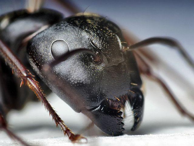 Head Of A Black Carpenter Ant Camponotus Pennsylvanicus