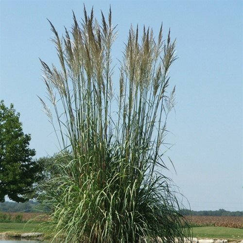 Pampas Grass for Northern Zones 6-9 - Five White Erianthus ravennae Pampas - Up to 14' tall by HopeSpringsNursery on Etsy https://www.etsy.com/listing/244728886/pampas-grass-for-northern-zones-6-9-five