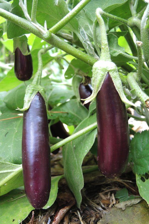 Long Lebanese Eggplant Cultivars Growing Eggplant In 400 x 300