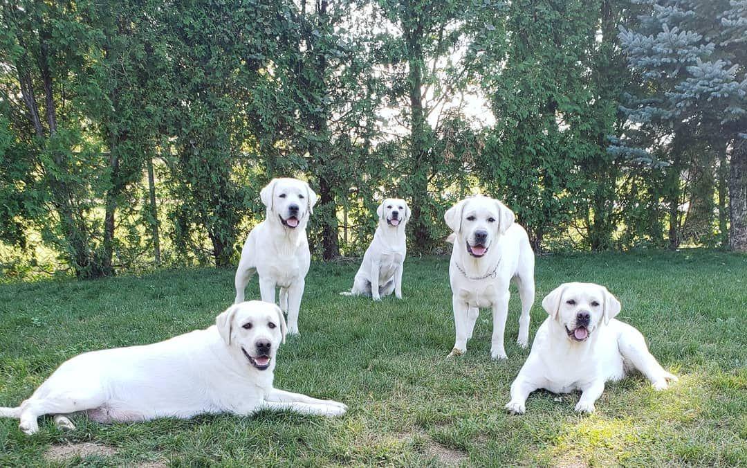 1 116 次赞 13 条评论 Royal White English Labradors Royalwhitelabradors 在 Instagram 发布 Boys Standing Girls Sitting Www Royalwhitel Dogs Retriever Labrador