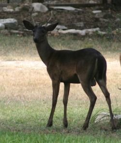 A Very Unusual Genetic Color Variation In White Tailed Deer Rarer Even Than Albinism Produces All Black Offspring In Melanistic Animals Animals Melanistic