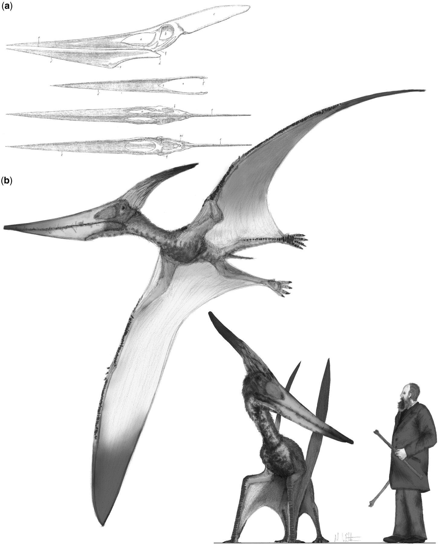Ptéranodon. Prehistoric animals, Prehistoric creatures
