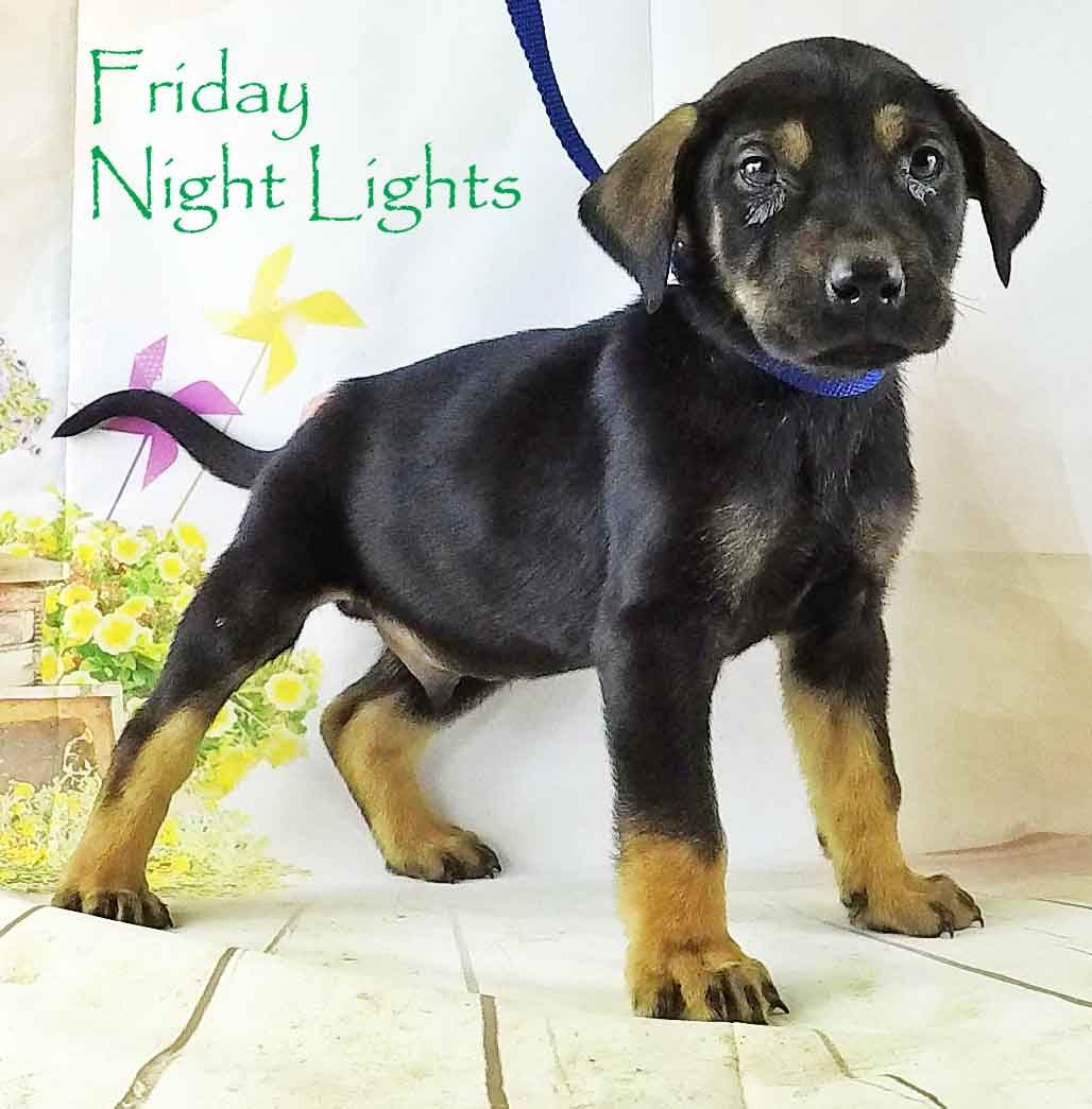 Rotterman dog for Adoption in Griffin GA ADN on