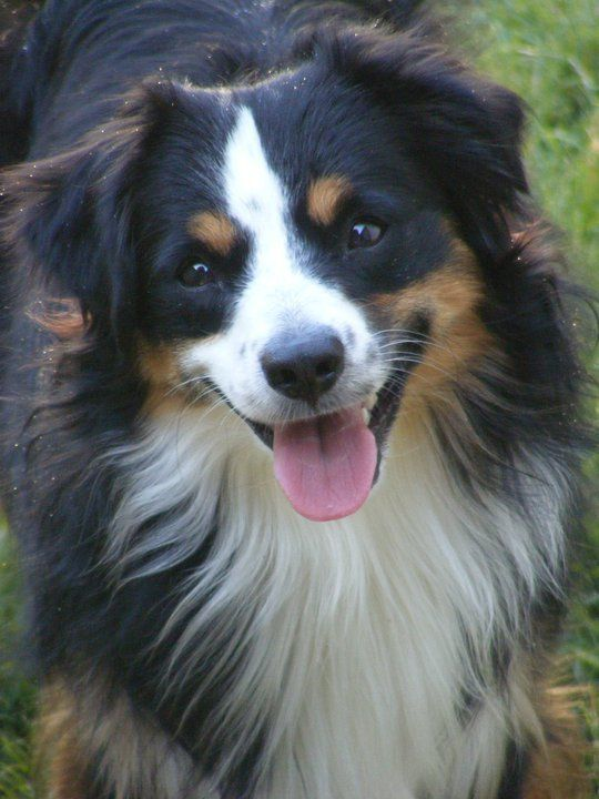 Miniature Australian Shepherd Looks Like He S Smiling My Murphy Does This All The Time Australian Shepherd Aussie Dogs Miniature Australian Shepherd