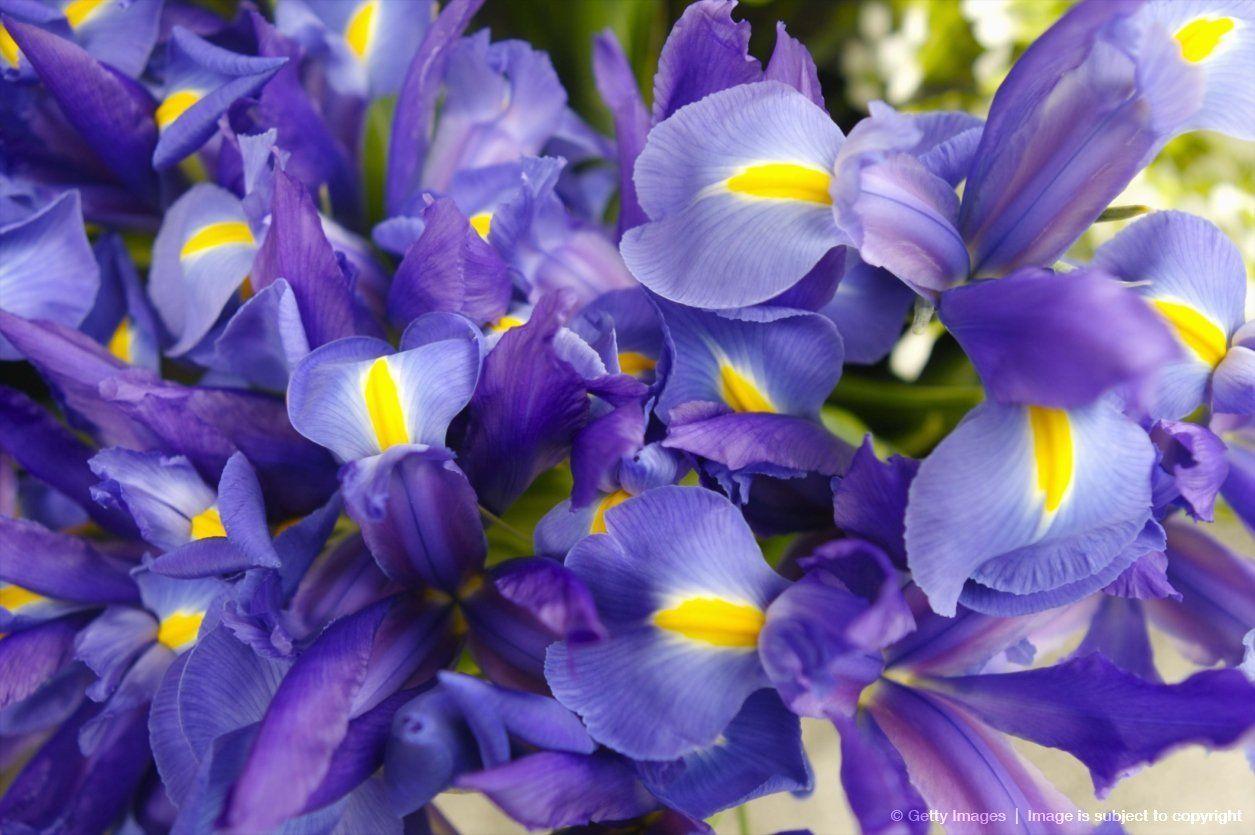 Purple irises purple passion pinterest purple iris iris and flowers purple irises izmirmasajfo