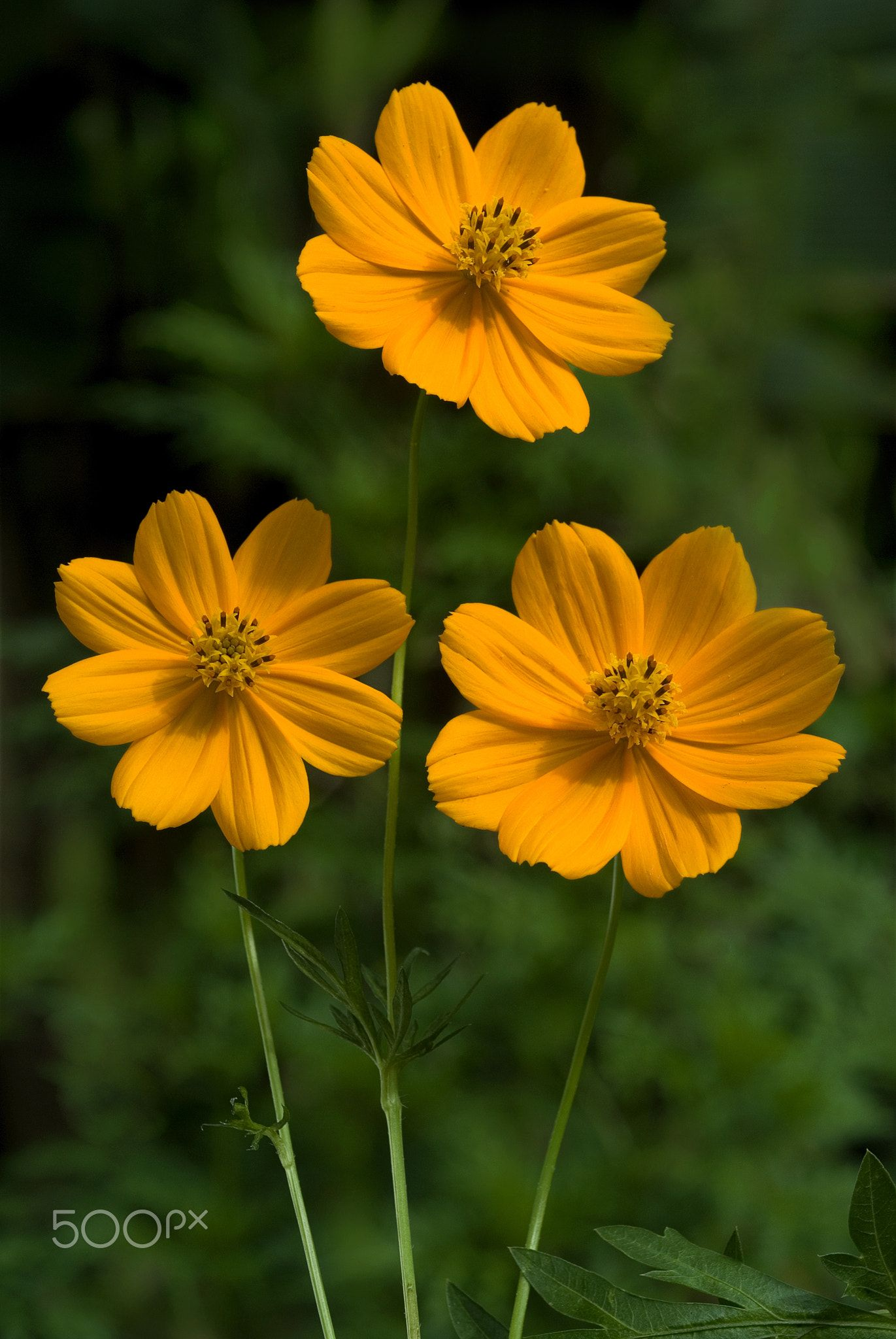 Flowers cosmos yellow flowers three cosmos flowers cosmos flowers cosmos yellow flowers three cosmos flowers cosmos bipinnatus commonly called the garden cosmos or mexican aster is a medium sized flowering mightylinksfo
