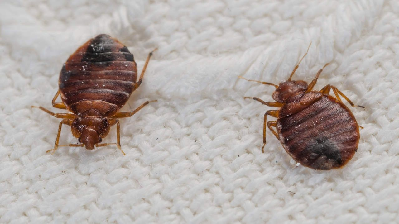Home Remedies To Get Rid Of Bed Bugs Naturally Rid Of Bed Bugs