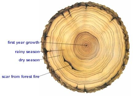 What if tree rings tattoo and tatoo tree rings1 ccuart Images