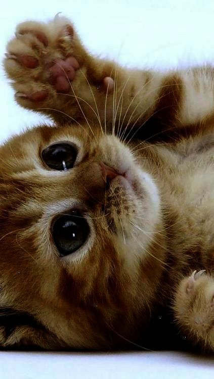 Stunning Cats And Kittens For Sale Adelaide Kittens Cutest Cute Animals Pets
