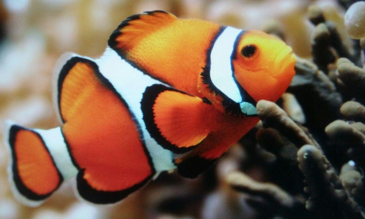 Nature image by Just Me 🖤 Clown fish, Marine fish, Sea fish