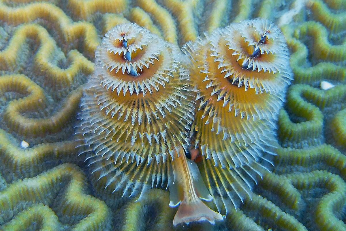 Christmas Tree Worm Spirobranchus Giganteus Species Profile Aquariumdomain Com