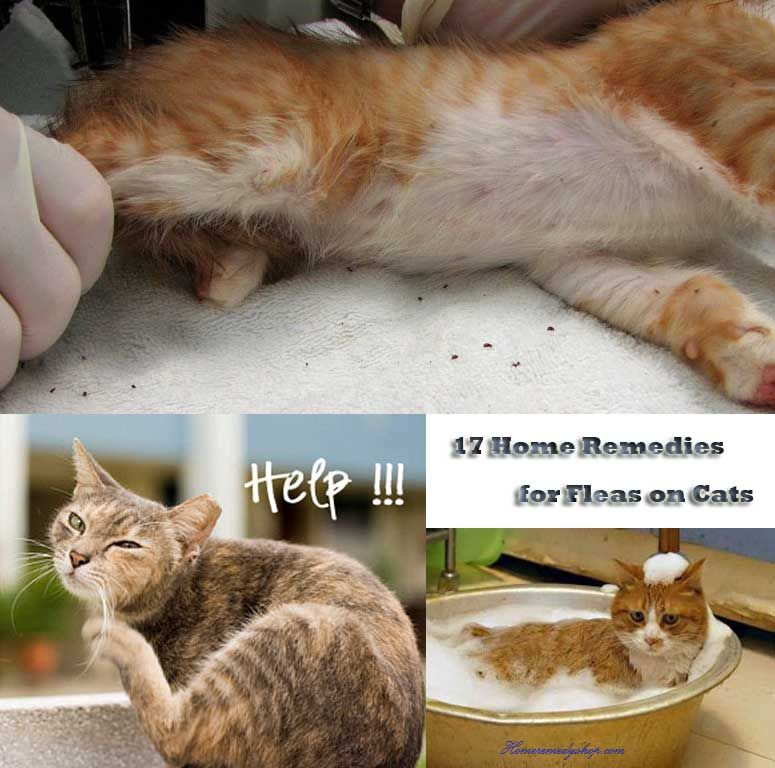 homeremedyshop 17 natural home remedies to prevent get rid of fleas on cats critters. Black Bedroom Furniture Sets. Home Design Ideas
