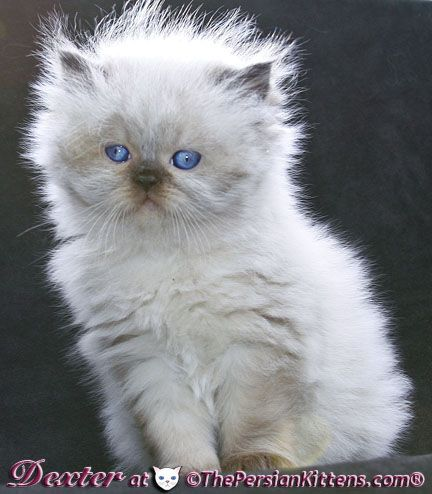 Lilac Point Persian Kitten What An Angel Persian Kittens Cute Puppies And Kittens Kittens