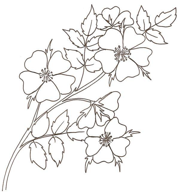 Coloriage d 39 une rose sauvage pirografia desenhos - Dessin fleur de cerisier ...
