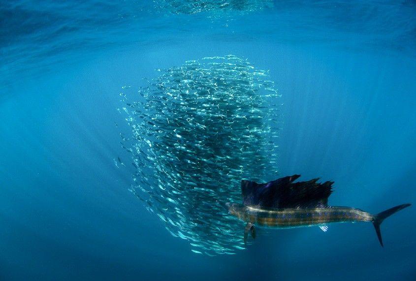 Sailfish Run Safari Pro Dive Mexico Sailfish Safari Diving