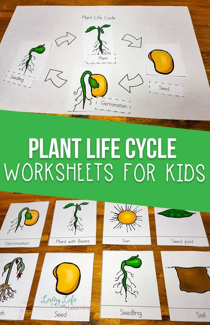 Plant Life Cycle Worksheets for Kids #plantlife