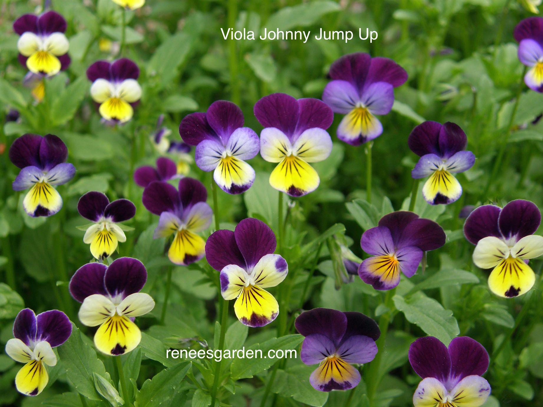 Grandmas johnny jump ups edible flower garden johnny