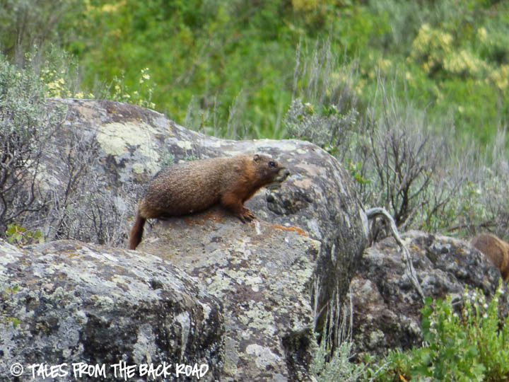 Two Marmotts