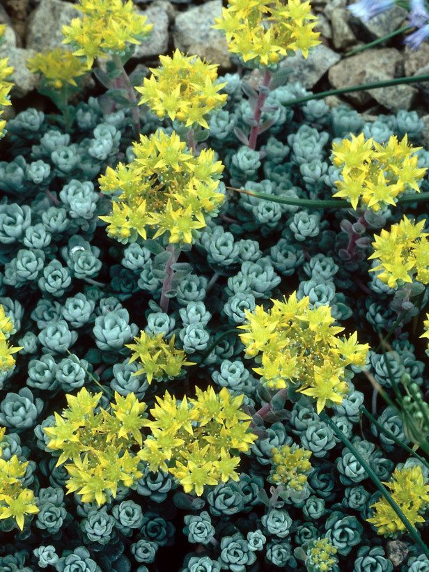 Stonecrop Sedum Spathulifolium Cape Blanco Bright Yellow Star