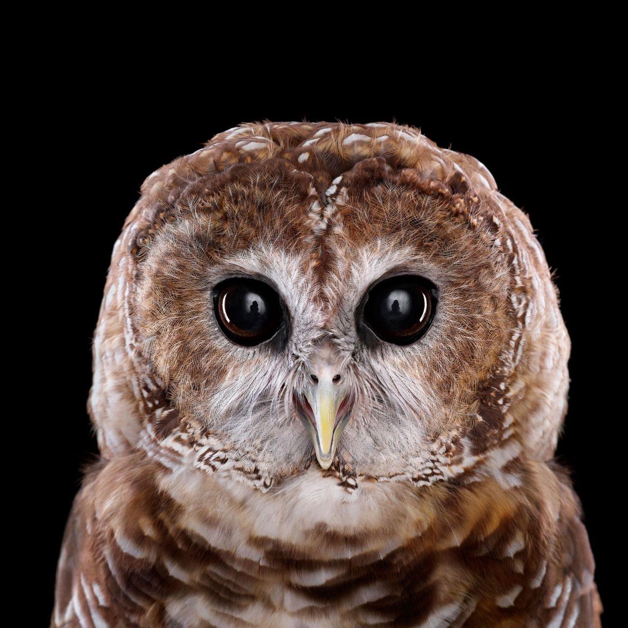 Incredible Studio Portraits Of Wild Animals By Brad Wilson: Fleckenkauz, Eule