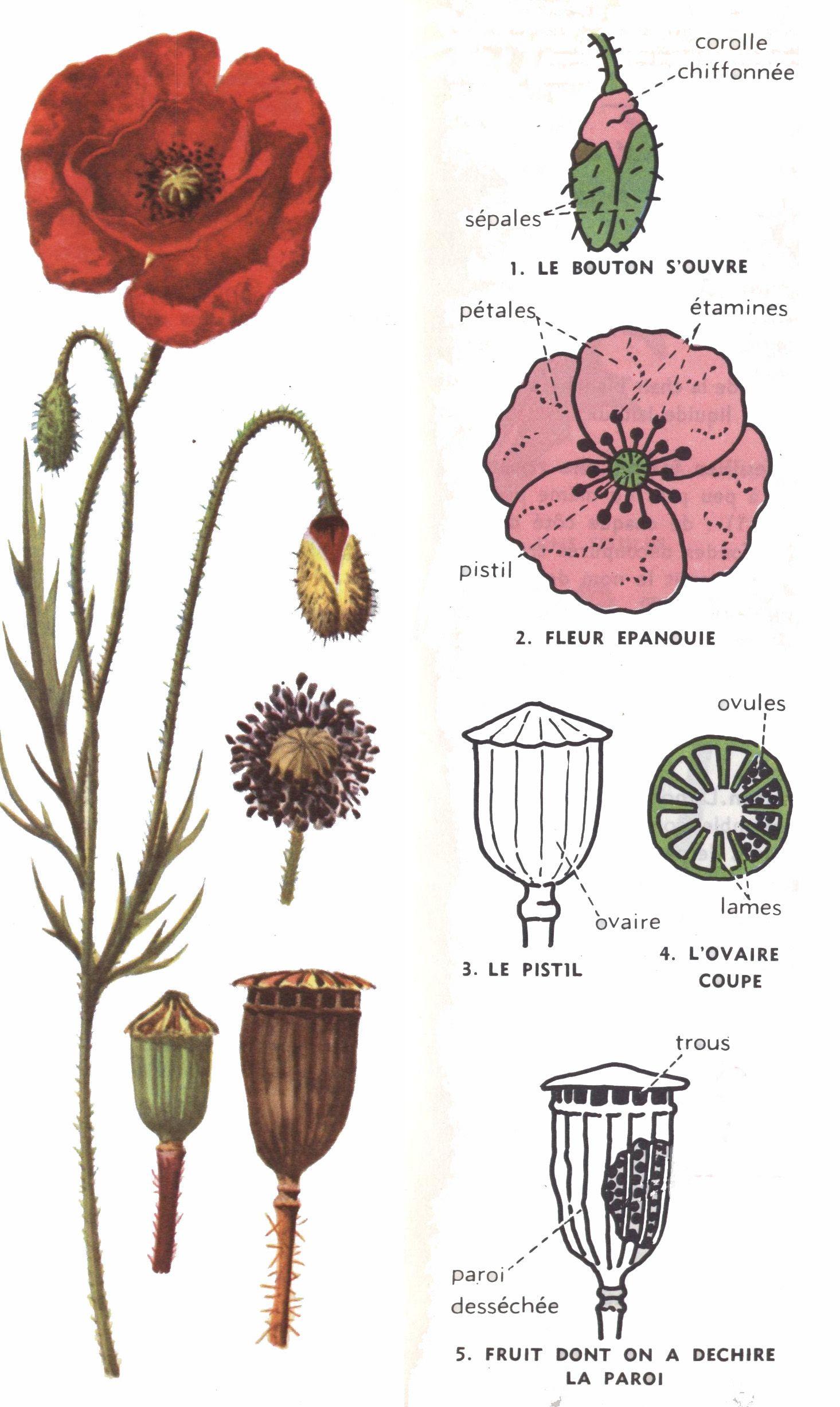 leçon de choses | Anatomie … | Pinterest | Blumen