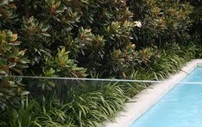 Magnolia Kay Parris Hedge Garden Hedges Outdoor Gardens Garden